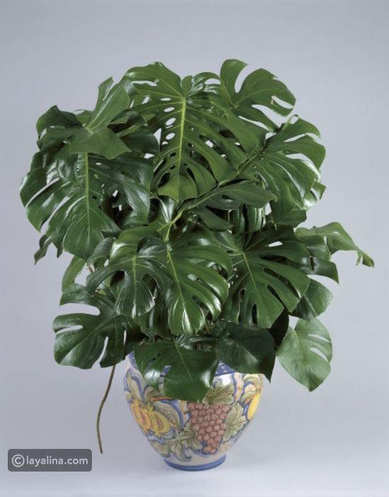 نباتات الزينة بالصور (أولا نباتات الظل 3fbd3cc085051f44ec8f