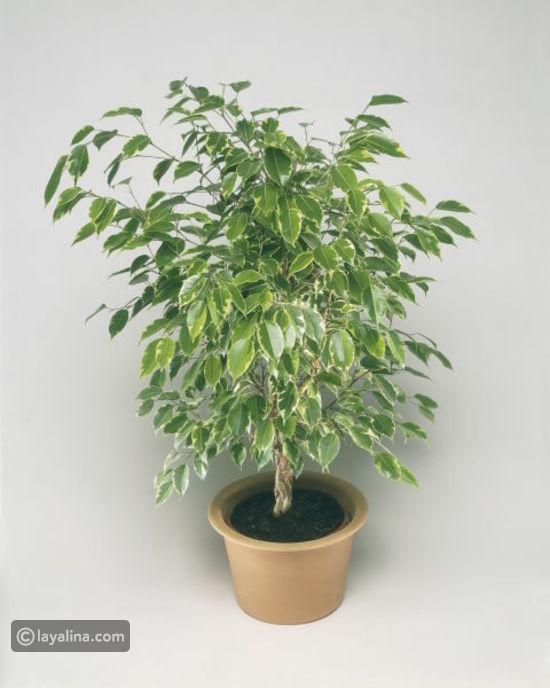 نباتات الزينة بالصور (أولا نباتات الظل 9195099450e1bf51a0ae