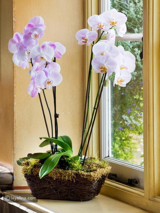 نباتات الزينة بالصور (أولا نباتات الظل b6a3d52d29638400a2f3
